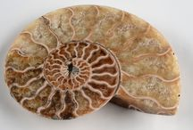 Fossils / Collectible & Decorative Fossils - Including museum quality specimens from the Gregory, Bottley, and Lloyd collection of London, are all available to purchase.