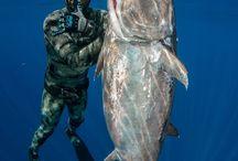 Soearfishing Dogtooth Tuna