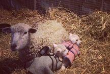 Sheep, Goats & Pigs