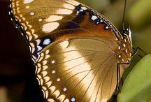 Sommerfugler butterflies