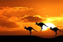 ANIMAL ● KANGAROO