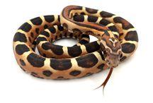 Scaleless cornsnake / Diverses phases de serpents des blés sans écailles.