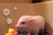 pig pics