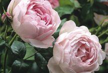 Peony pink roses