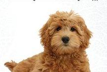 Goldengoodle