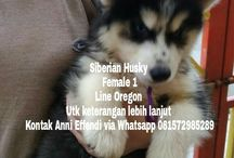 Von Javelline Kennel jual anjing Siberian Husky Line Oregon