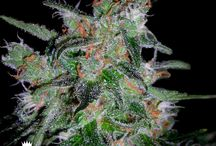DNA Genetics Cannabis Seeds / Collection of award winning Cannabis seeds from DNA Genetics. Order your souvenirs today from www.DNAGenetics.com