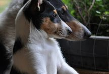 Smooth Collie ☼