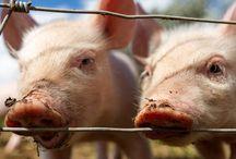 Vegetarianism & Lives of Animals