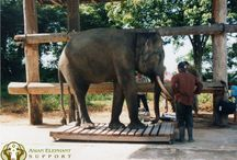 Asian Elephant Support / Our organization and what we do for elephants in their 13 South East Asian range countries.