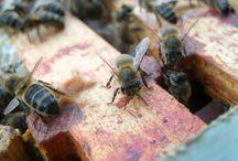 Bees / Around the hive