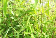 Beautiful Bamboo / Bamboo plants, part of the grass family, have hollow evergreen stems or culms and come in two main forms: clumping and running. Clumping bamboos spread more slowly, as the growth pattern of their underground rhizomes is to expand the root area gradually, similar to ornamental grasses. They can be used effectively for ornamental or rock gardens or as container grown plants; look for Fargesia and Pleioblastus varieties such as Fargesia Simba and Pleioblastus Distichus.