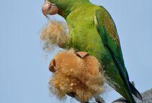 Brotogeris / Il genere brotogeris è composto da sette specie di pappagalli di piccola taglia molto graziosi, di colorazione generale verde. Di queste sette specie una soltanto è originaria dell'America centrale, mentre le altre sei appartengono alle zone più calde del Sudamerica.