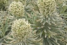 Sweetstuff Euphorbia