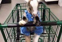 коза весёлая