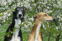 Gorgeous Greyhounds