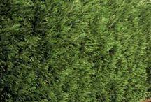 Les plantes de haies / La haie végétale est idéale pour délimiter un espace, se protéger des regards indiscrets ou décorer un jardin tout simplement.  Les cyprès, charmilles et hêtres, thuyas, buis, troènes ou lauriers vous permettront de constituer facilement des haies occultantes, denses ou persistantes.  Pour une haie parfumée et colorée, optez pour une haie bocagère ou une haie fleurie composée de différents arbustes.