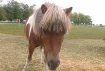 Lovak/ Horses