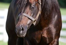 Horses AQHA Stallions