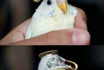 I love budgerigar