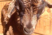 Capre camosciate delle Alpi / Allevamento capre camosciate delle Alpi