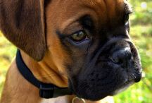 Yes I Have a Board Devoted Entirely to Boxer Dogs....