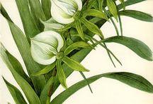 Tropical Botanical Illustration