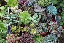 Succulent tray mix