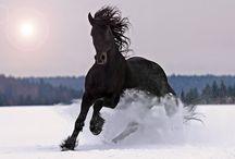 černí koně / černí koně