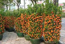 mandarin nevelése