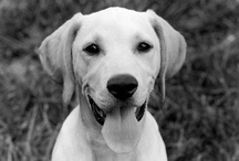 Expecto Patronum / for when I need a smile, the yellow lab is my happy memory and my patronus / by Kris Mitchem