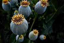 poppy / Mohnblume