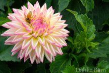 New Dahlias for 2015 / Newest Editions / by Dahlia Barn
