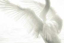 Swan ♥