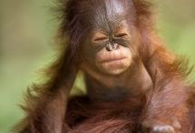 Cucciolo di orangutan