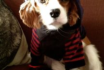 Dharma The Cavalier King Charles