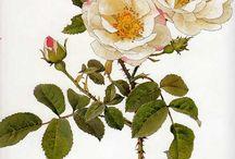 Ellen Willmott, The Genus Rosa