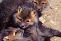 Foxes *^*