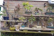 shohin bonsai