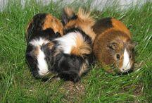 Guinea pigs / by Tammy Glass