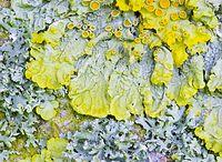 mossen/ lichen