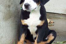 Sennenhunde / Ob Berner, Schweizer oder Appenzeller Sennenhund : einfach bezaubernde und wunderschöne Hunde