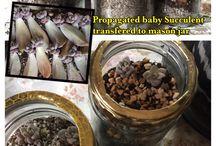 Propagated succulent / Baby succulent in mason jar