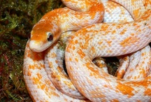 Cute CORNss / Corn snakes xx / by Jules Whittemore