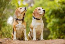 Love my Beagles