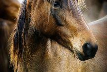 Atlar hazır mı? (Horse)