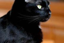 Pisici negre