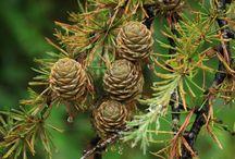 Kara-matsu カラマツ   唐松  Larix / modrzew japoński - bonsai, niwaki etc.