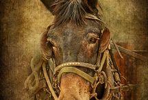 Mule Muli