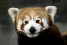Zoos / International / Visit these red pandas in zoos around the world!